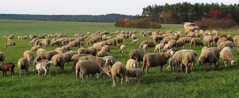 Sheep, Flock, Pfrech, Flock Of Sheep