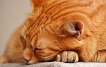 cat, red, sleep