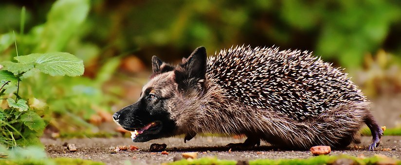 Shepherd, Hedgehog, Dog, Wildlife