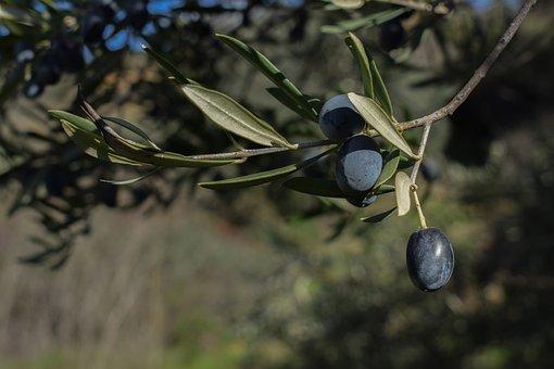 Olives, Fruit, Nature, Food, Branch