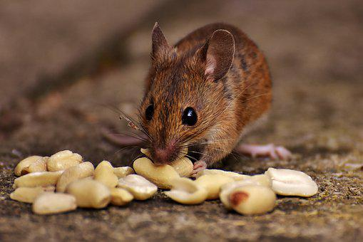 Wood Mouse, Rodent, Nager, Food, Eat