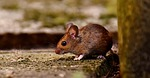 wood mouse, rodent