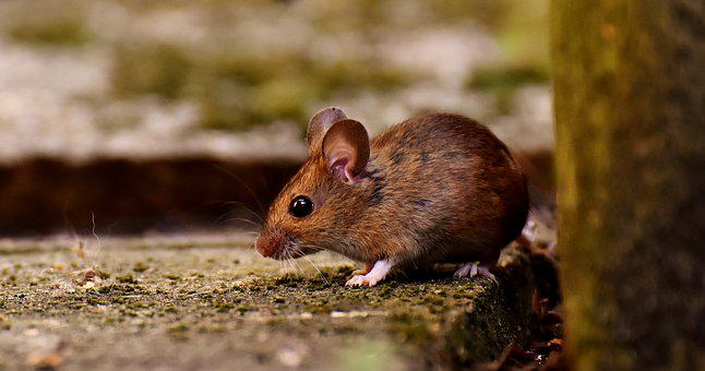 Wood Mouse, Rodent, Nager, Foraging