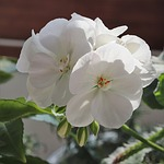 flowers, white, plants
