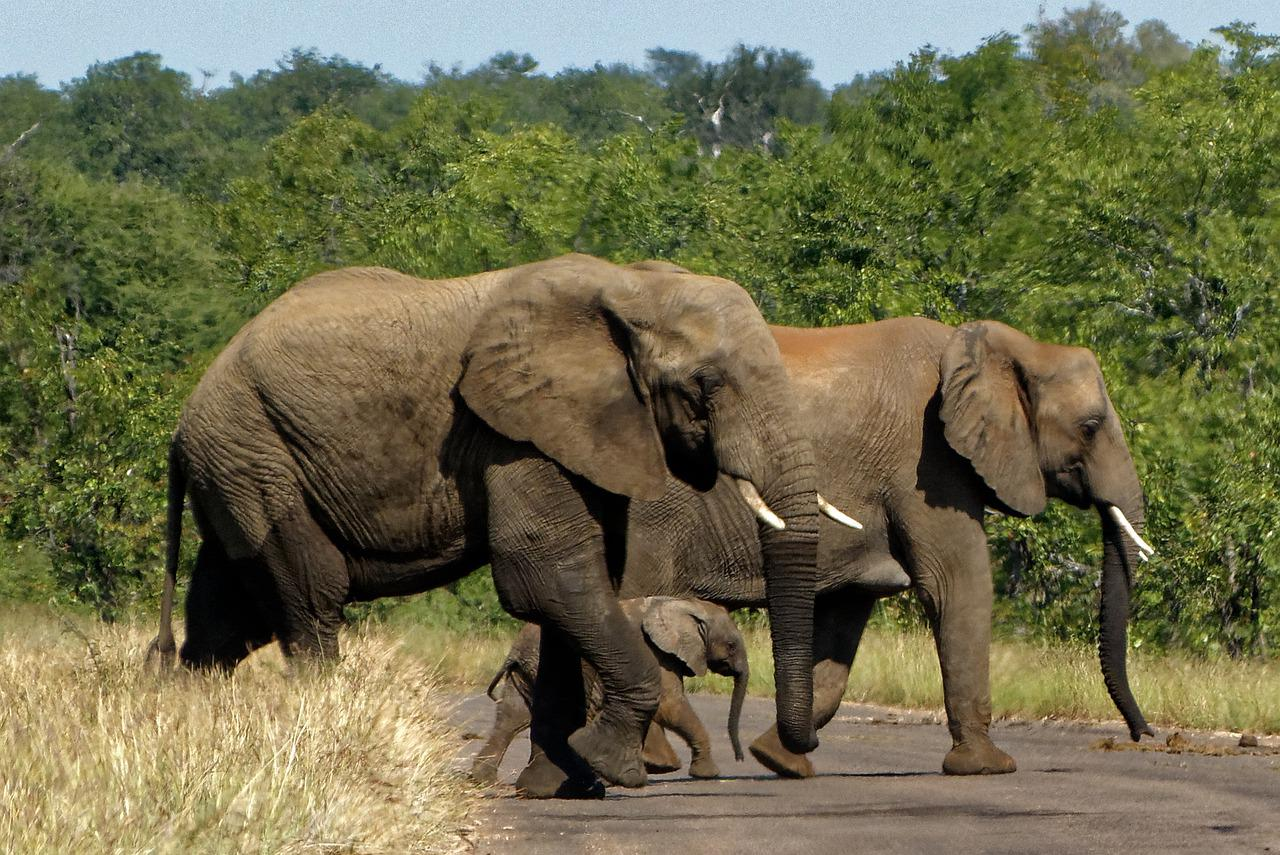 the two species of elephants What are the two species of elephants a european and american b indian and african c asian and african.
