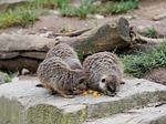 meerkat, animal, fur