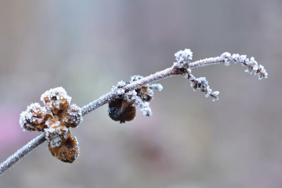 霜, 冬, 雪, 自然, 冷凍, Dull, シーズン, 風邪, 支店, 冷ややかです, 屋外, 熟した