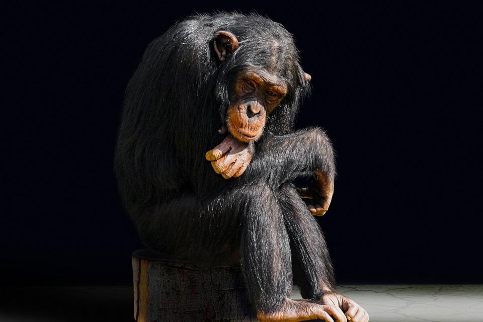 Animale, Primate, Scimmia, Noia, Scimpanzé, Ritratto