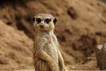 animal world, nature, meerkat