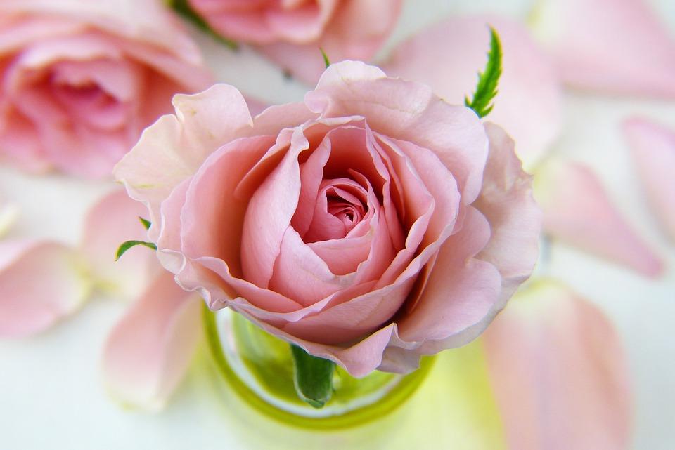 Blomst, Rose, Kjærlighet, Blomster, Petal, Rosa
