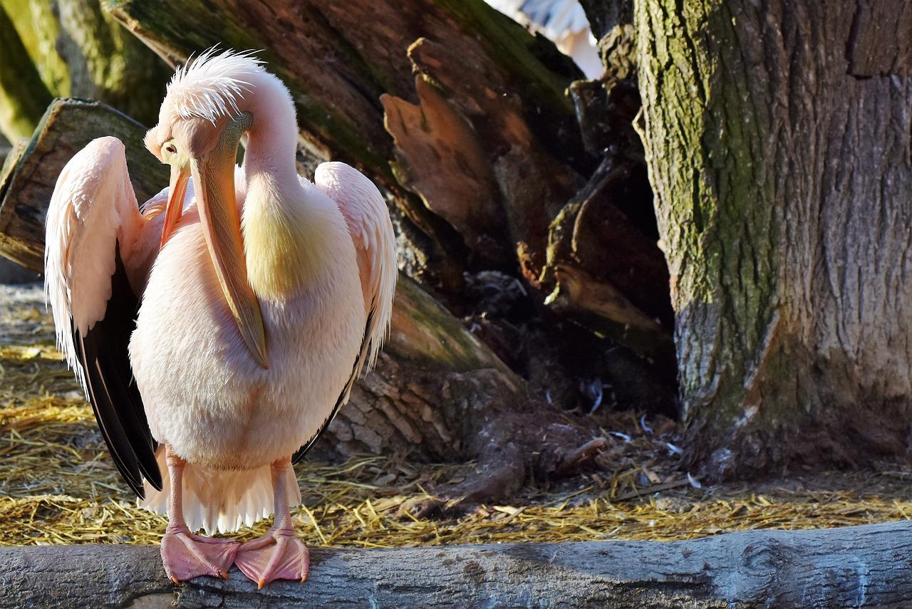 распечатать картинки розовый пеликан под лестницу