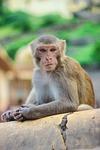 monkey, primate, wildlife