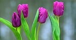 flowers, viola, purple