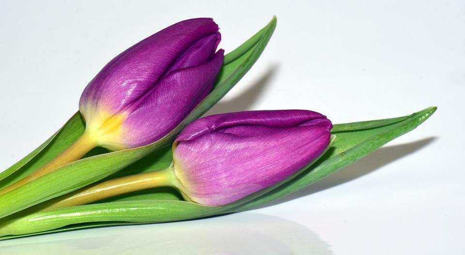 Viola Purple Flowers Frisch Spring