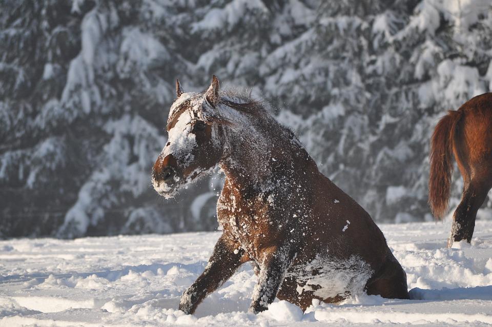 Immunité du cheval