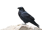 raven, bird, animal world