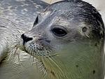 seal, small