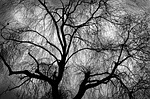 weeping willow, willow, tree
