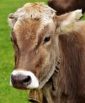 cow, cows