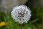 dandelion, foreground, plant