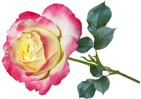 Rose Free pictures on Pixabay