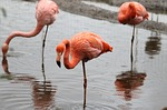 bird, flamingo, nature