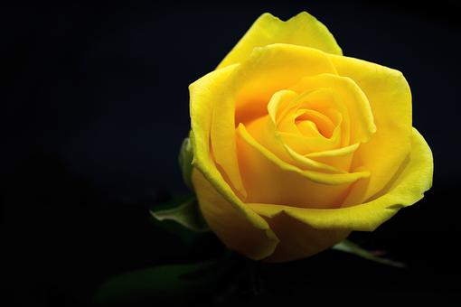 バラ, 花, 黄色, 愛, ロマンス, 与える, 植物, 黒の背景, 自然