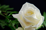 rose, flower, white