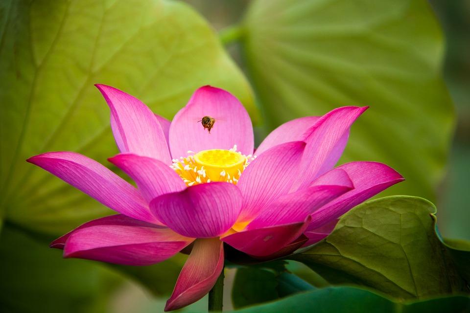 Lotus Flora Flower Free Photo On Pixabay