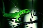 green, lizard, reptile