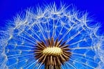 nature, dandelion, macro