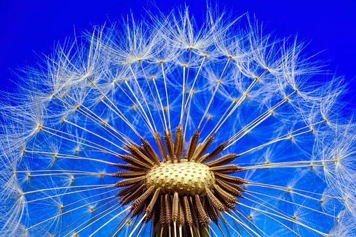 Nature, Dandelion, Macro, Close, Flower