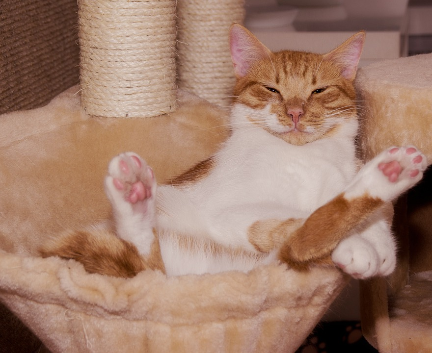 Cat, Funny, Kratzbaum, Paws, Supine Position, Move, Is