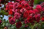 flower, plant, rose