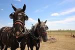 mammal, cavalry, farm