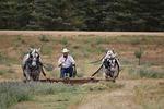 horses, hayfield, rake