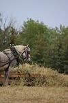 percheron, hay, standing