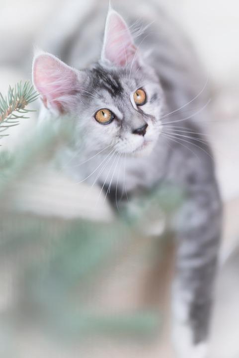 Katze, Silber, Grau, Maine Coon, Kätzchen, Pet, Tier