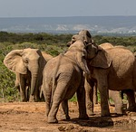 elephant, mammal, wildlife