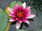 flower, lotus, water lily