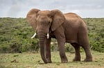elephant, wildlife, mammal