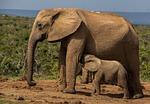 elephant, mammal, wildlife