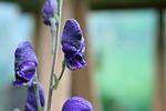 monkshood, poisonous plant, flora