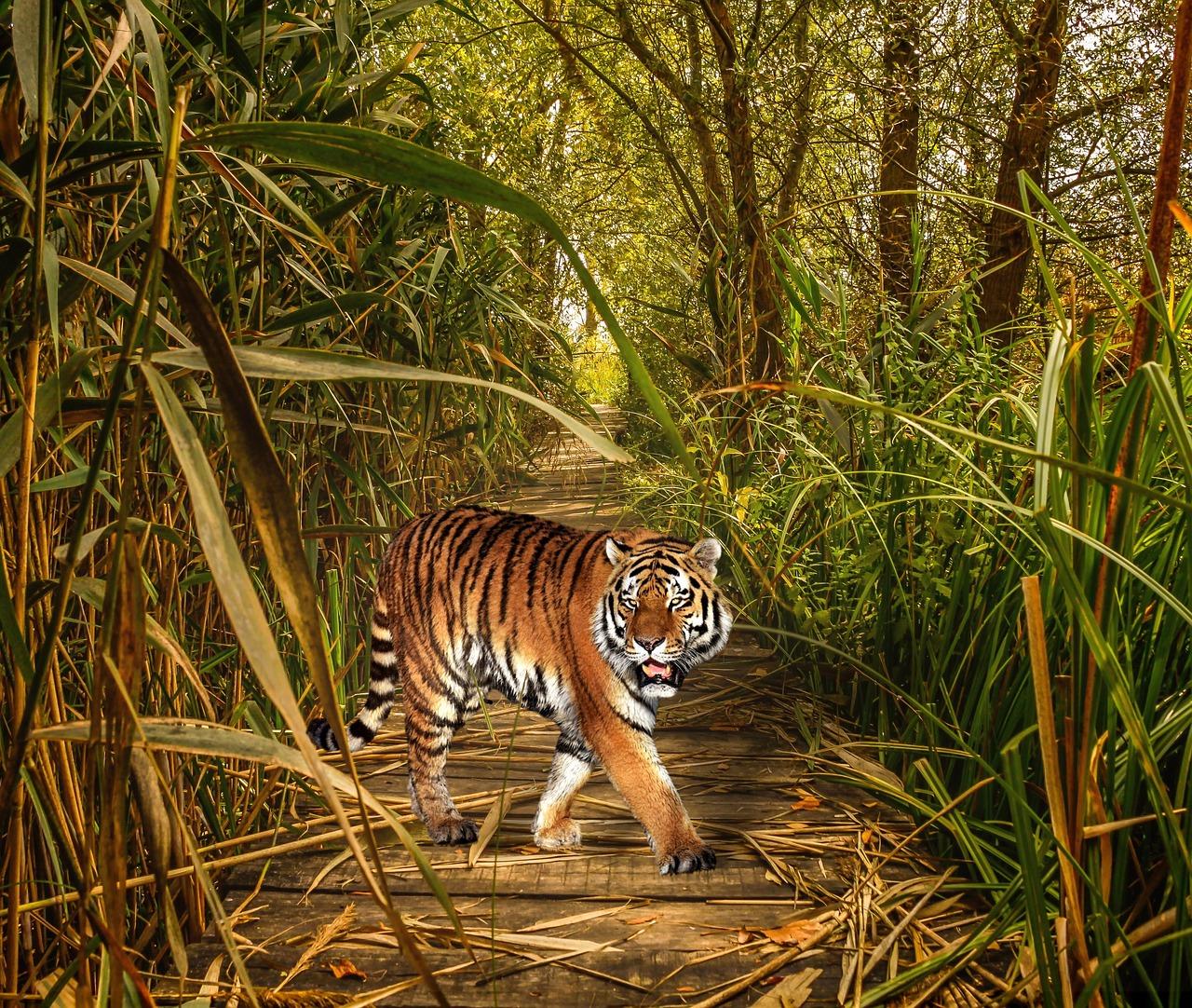 фототехники картинки тигр в джунгли маленькая приграничная германией