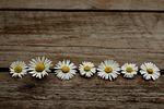 daisy, wooden, nature