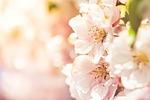 flower, nature, cherry