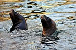 seal, sea lion