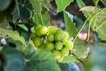 fruit, nature, leaf