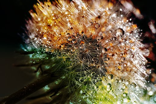 Dandelion, Dewdrop, Flower, Close Up