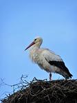 stork, bird, nest
